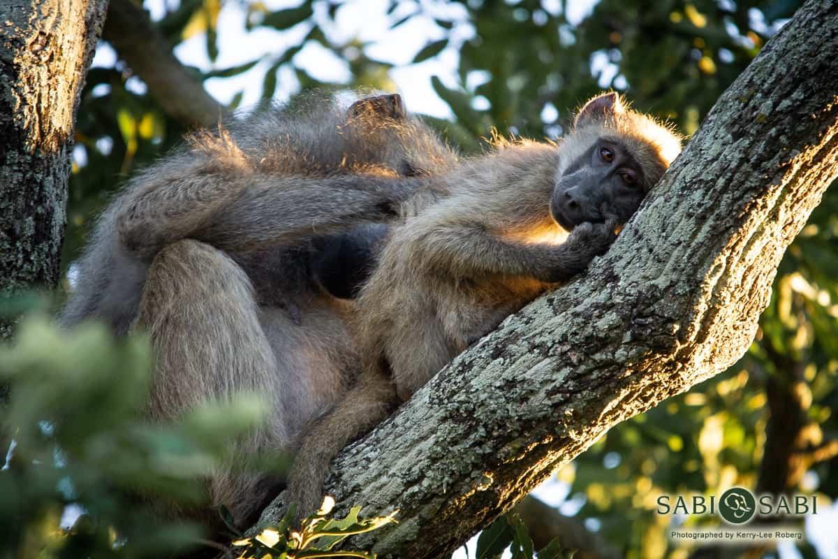 baboons at sabi sabi private game reserve