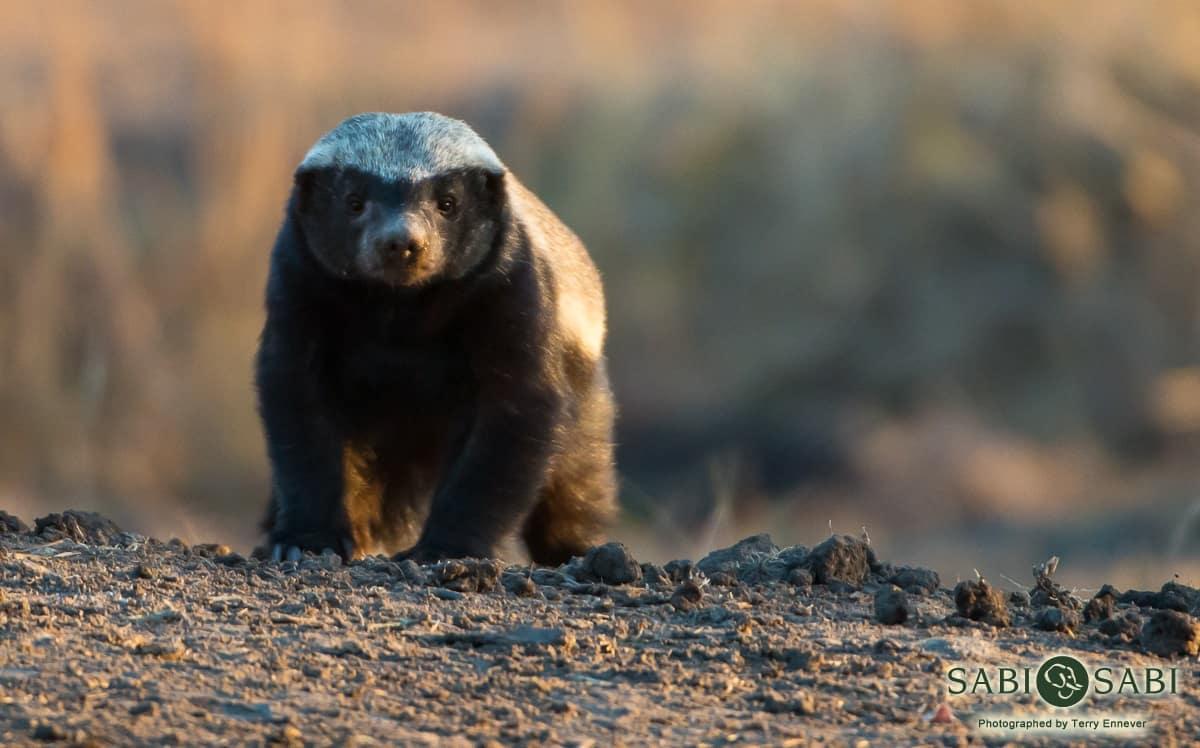 Honey Badger Sabi Sabi Private Game Reserve Blog