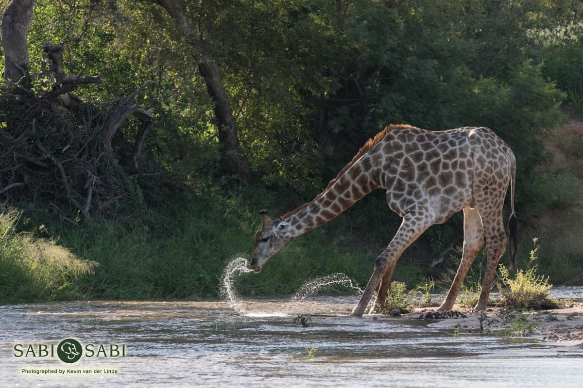 giraffe while on sabi sabi safari