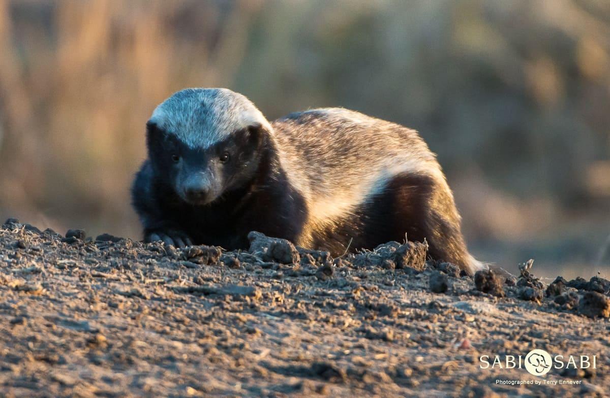 honey badger at sabi sabi private game reserve