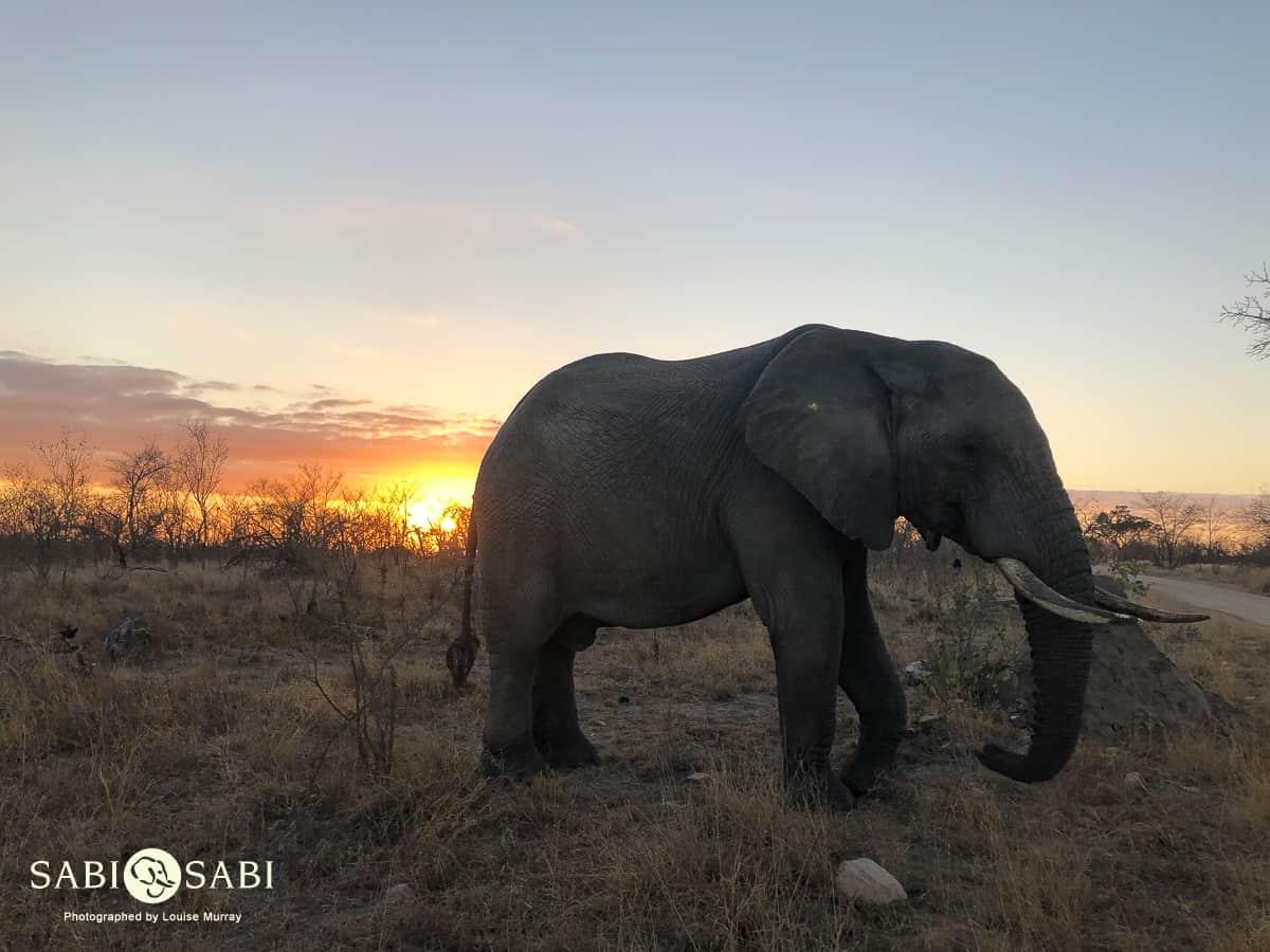 elephant while on sabi sabi safari