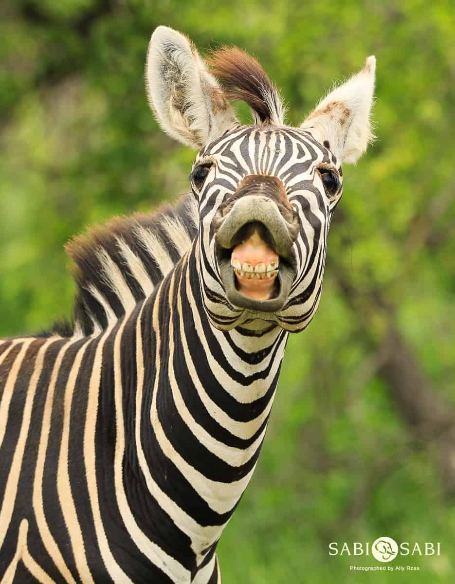 Zebra Sabi Sabi Private Game Reserve Blog