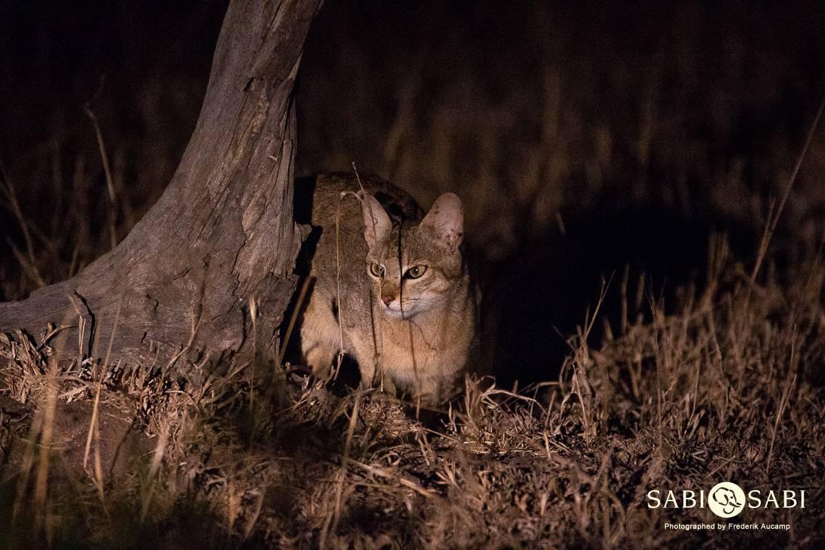 african wild cat at sabi sabi private game reserve