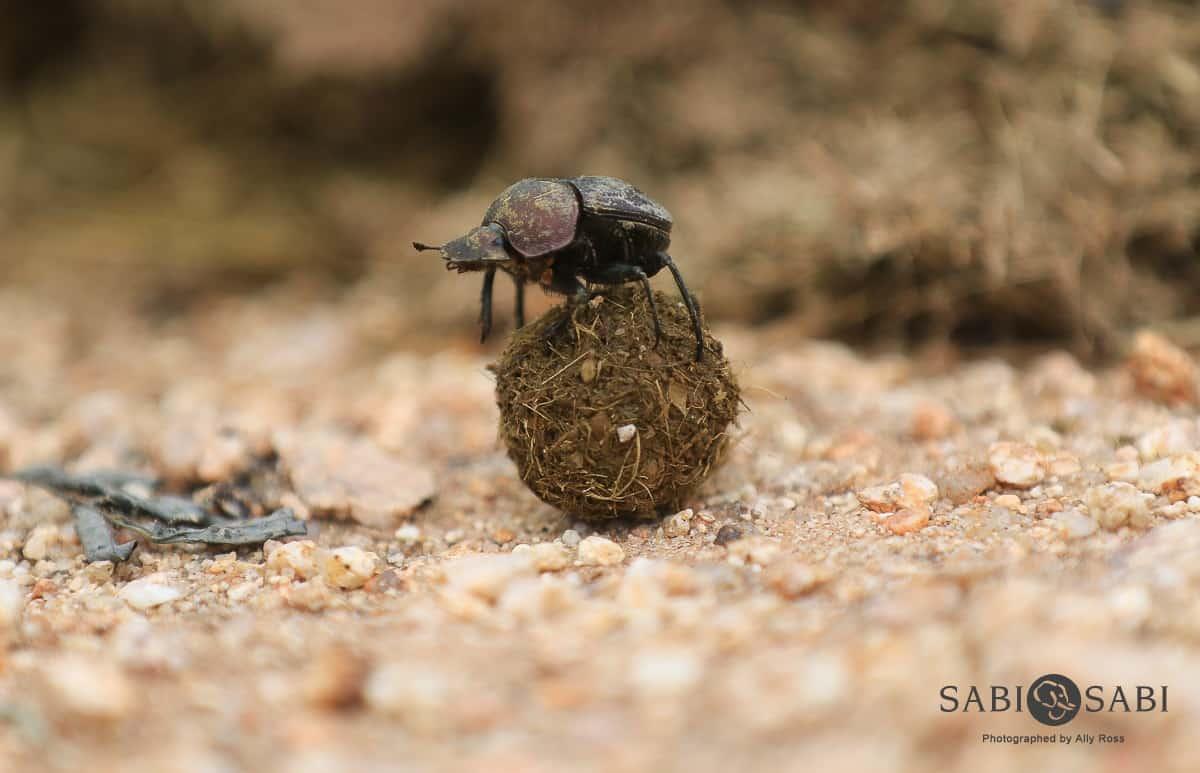 dung beetles at sabi sabi private game reserve