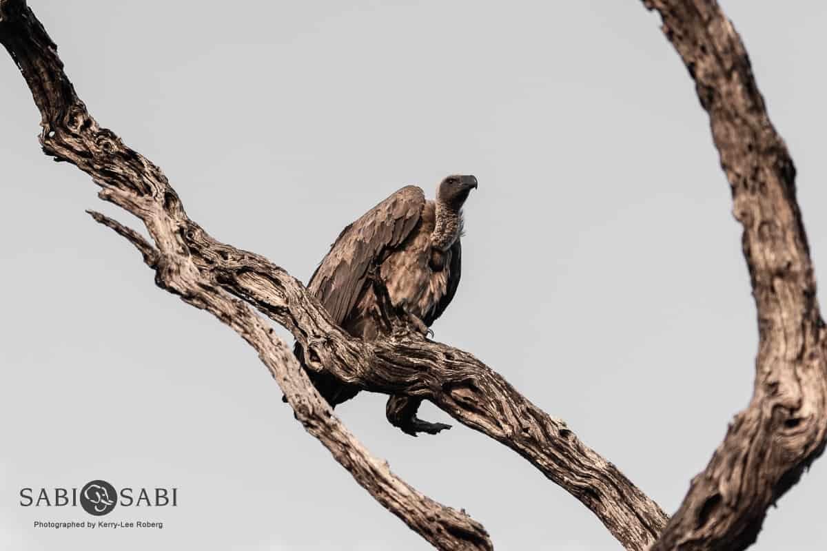sabi sabi white backed vulture