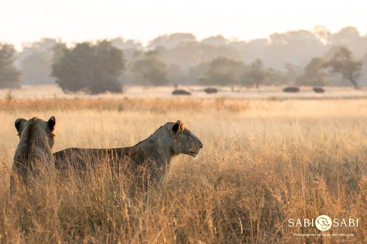 lion while on sabi sabi safari