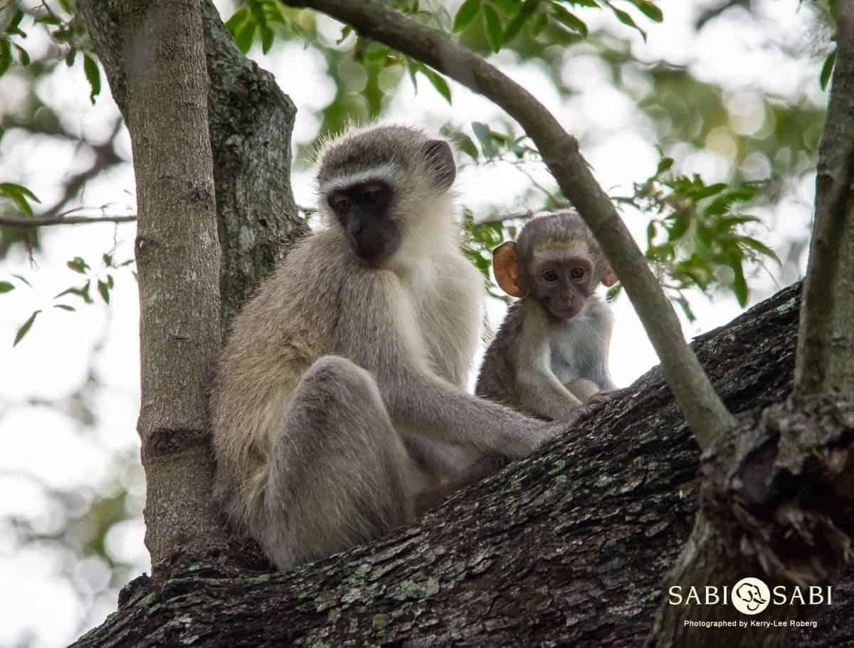 vervet monkeys at sabi sabi