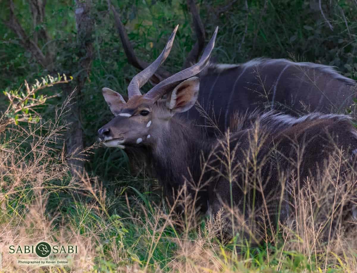nyala at sabi sabi private game reserve