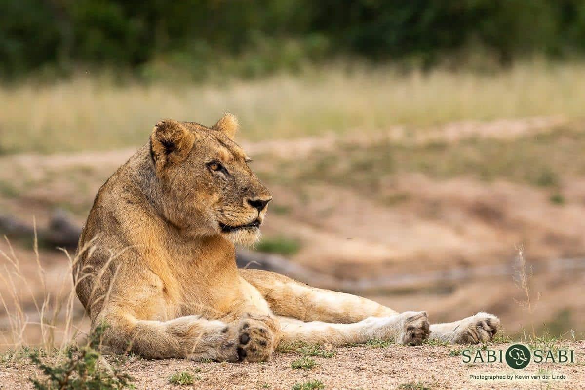lion sighting while on sabi sabi safari