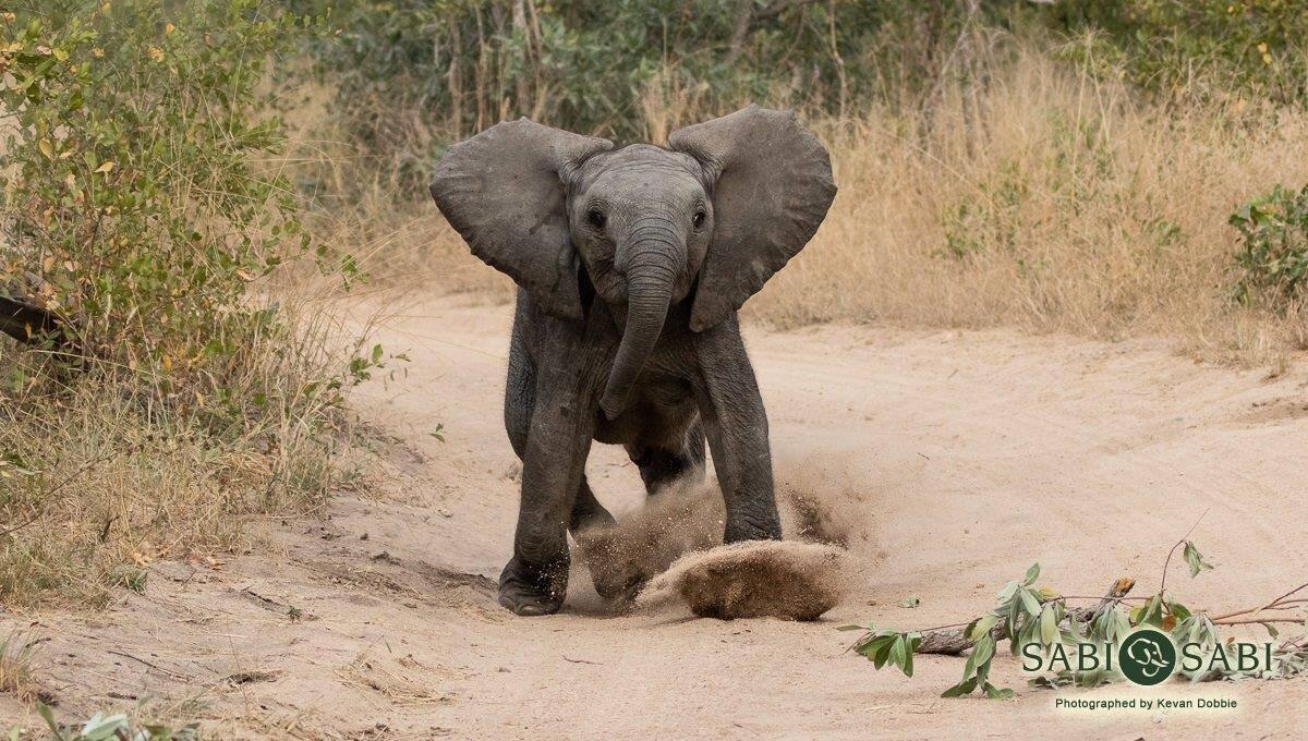 baby elephant at Sabi Sabi Private Game reserve