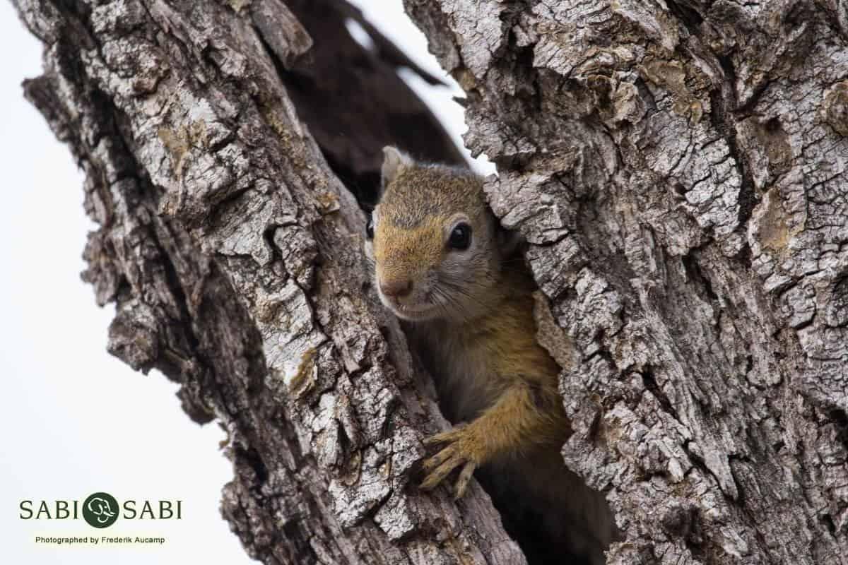 squirrel at sabi sabi private game reserve