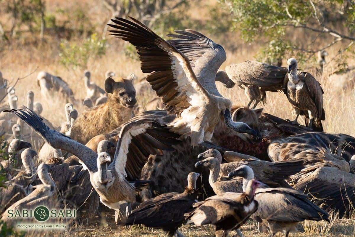 feeding frenzy at sabi sabi private game reserve