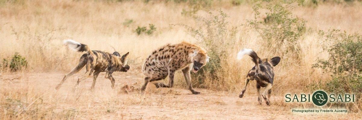 wilddogs vs hyena at sabi sabi