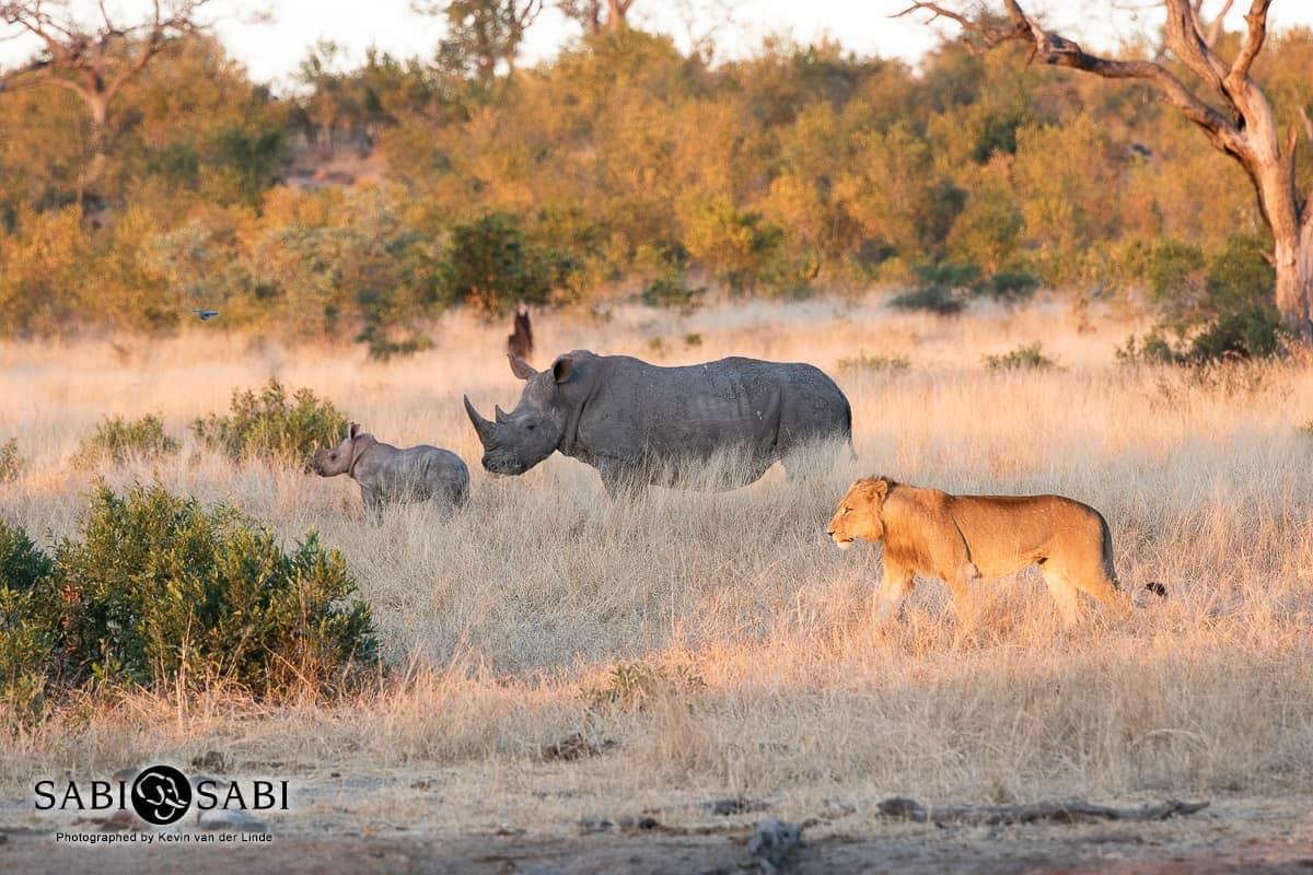 Lion and rhino at sabi sabi