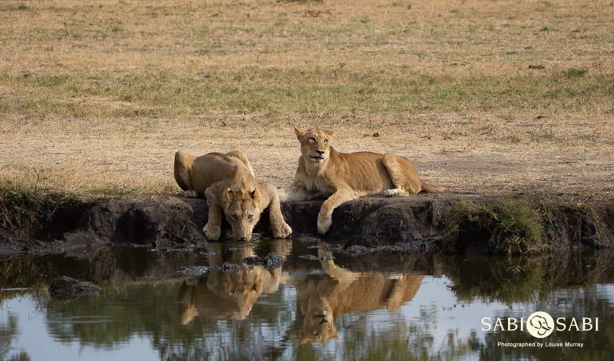 lions at the waterhole sabi sabi
