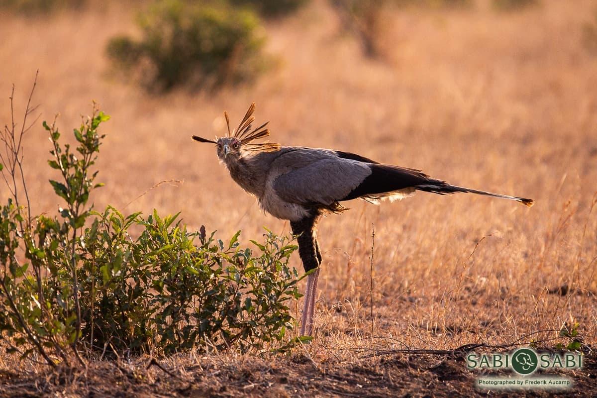 secretary bird at sabi sabi
