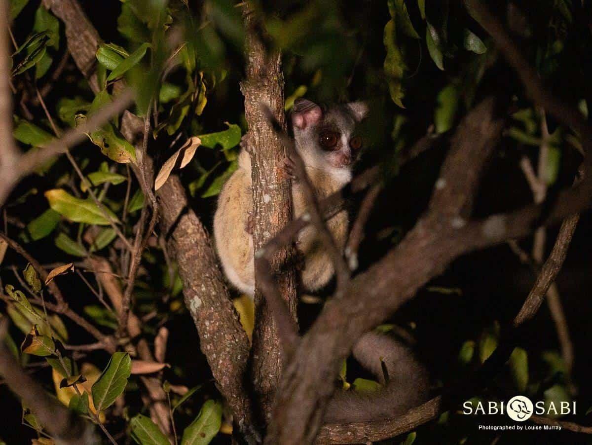bush baby at sabi sabi private game reserve