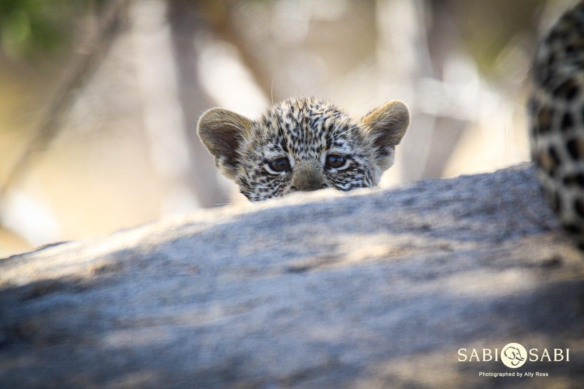 leopard cub at sabi sabi private game reserve