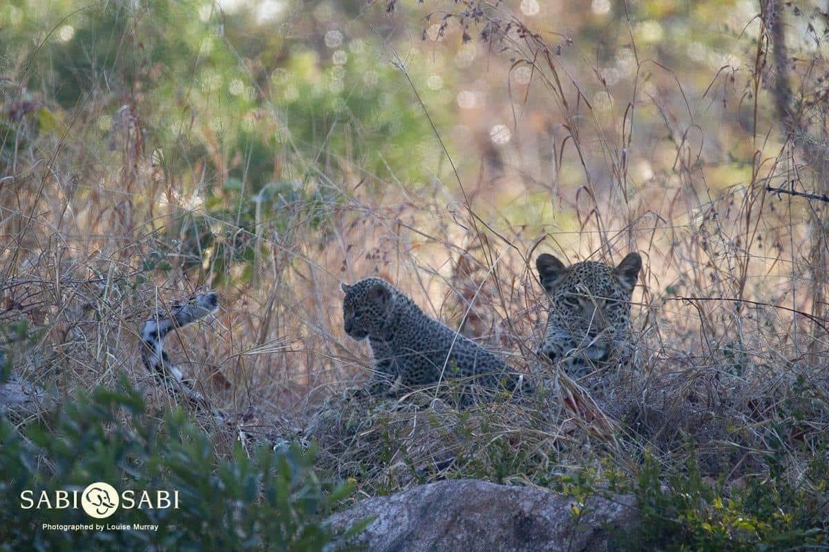 leopard cubs at sabi sabi private game reserve