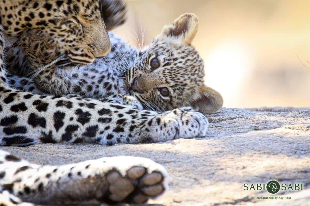 baby leopard at sabi sabi private game reserve