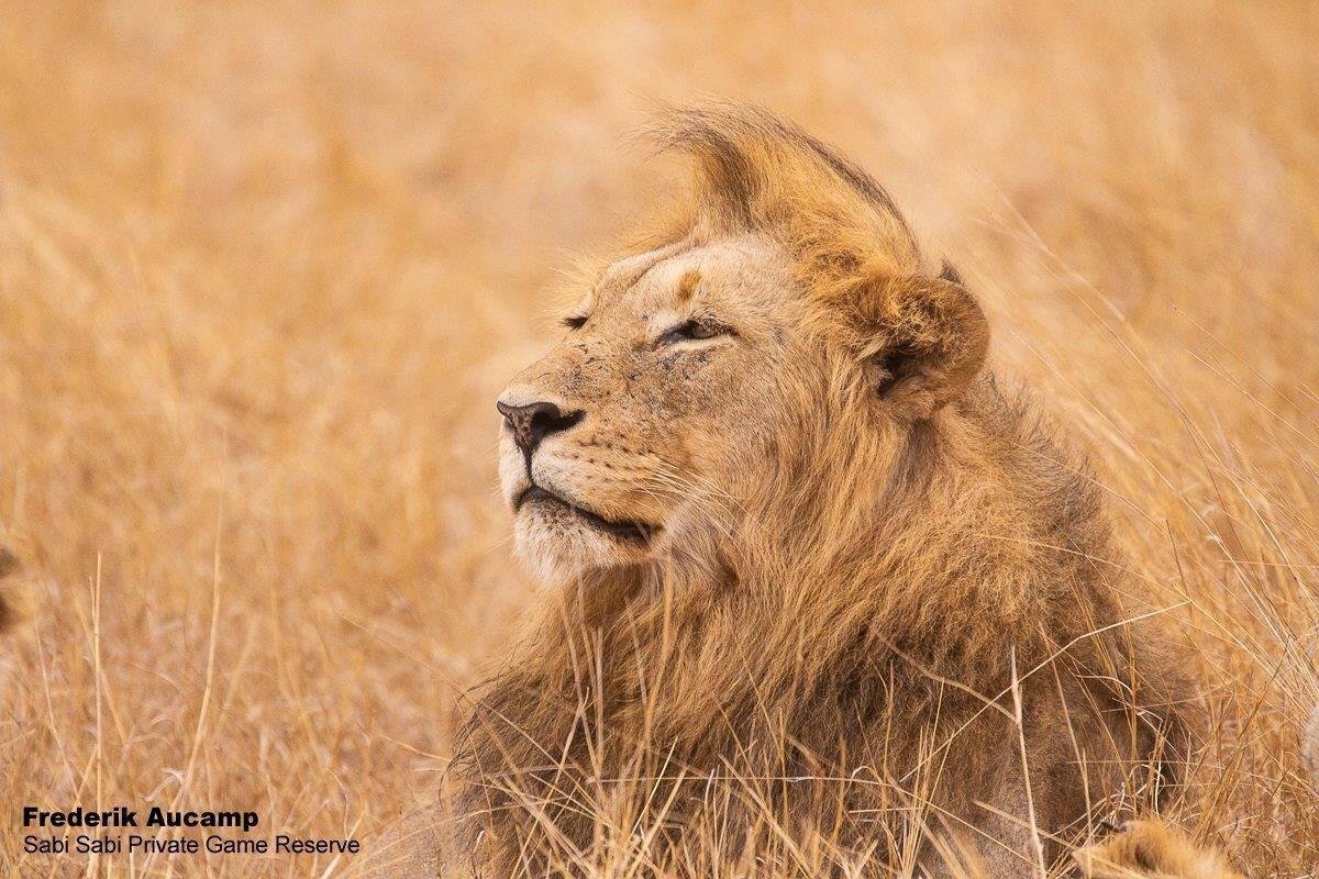 lion at sabi sabi private game reserve
