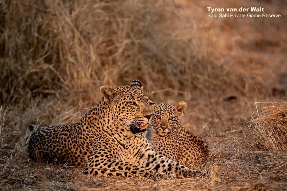 leopard and cub at sabi sabi private game reserve