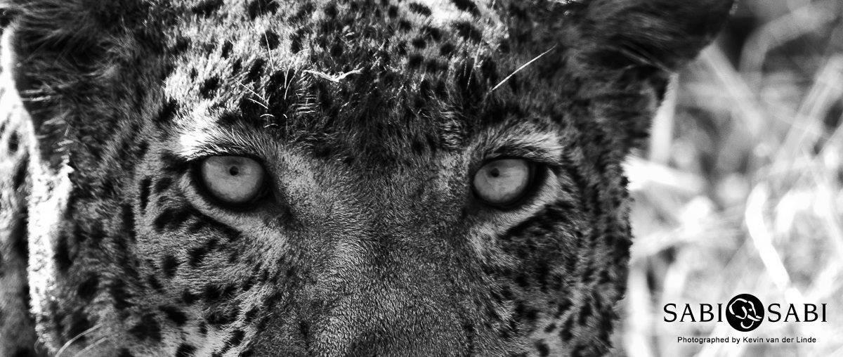 leopard at sabi sabi