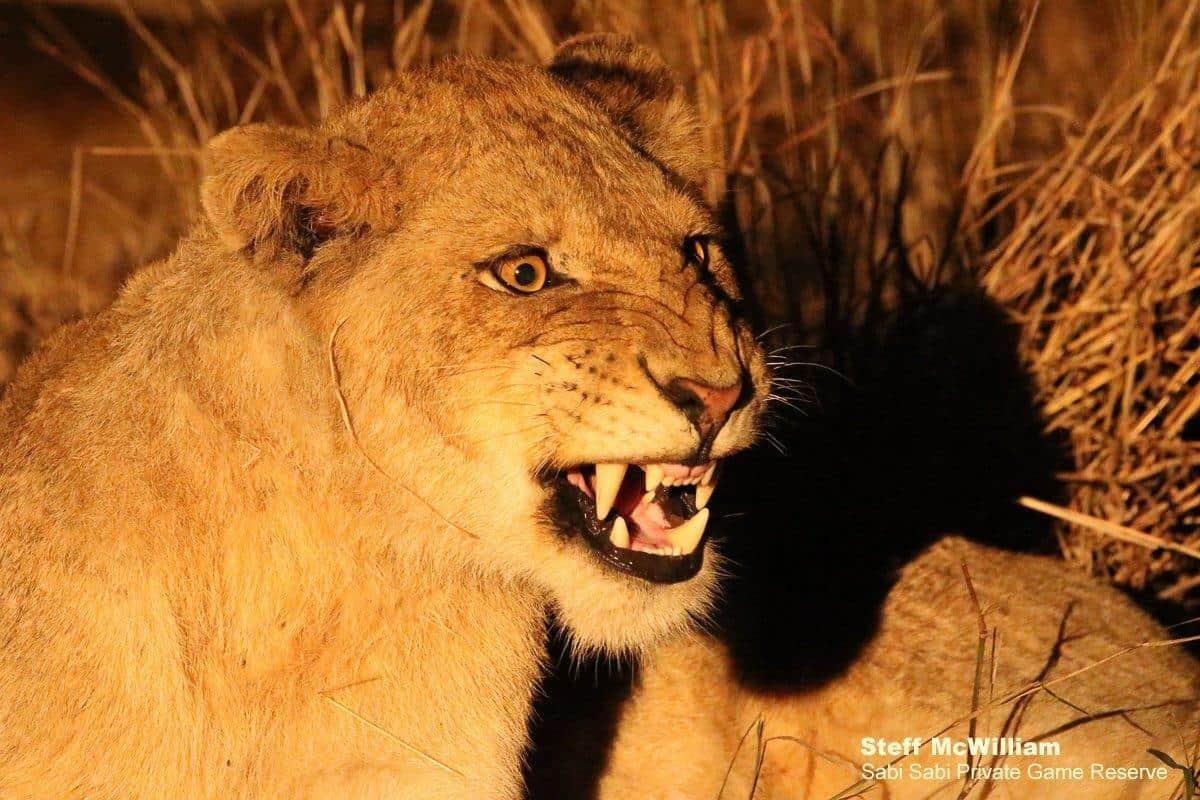 styx pride at sabi sabi private game reserve