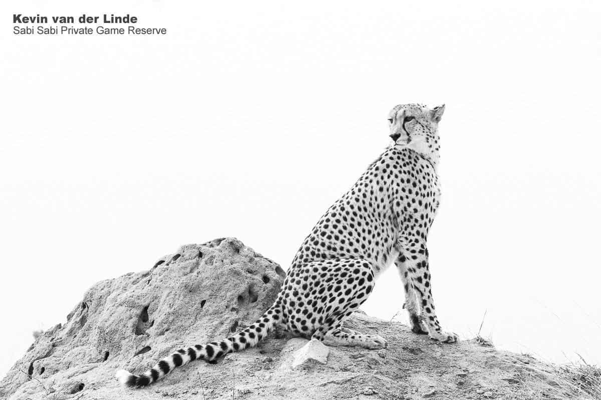 cheetah at sabi sabi private game reserve