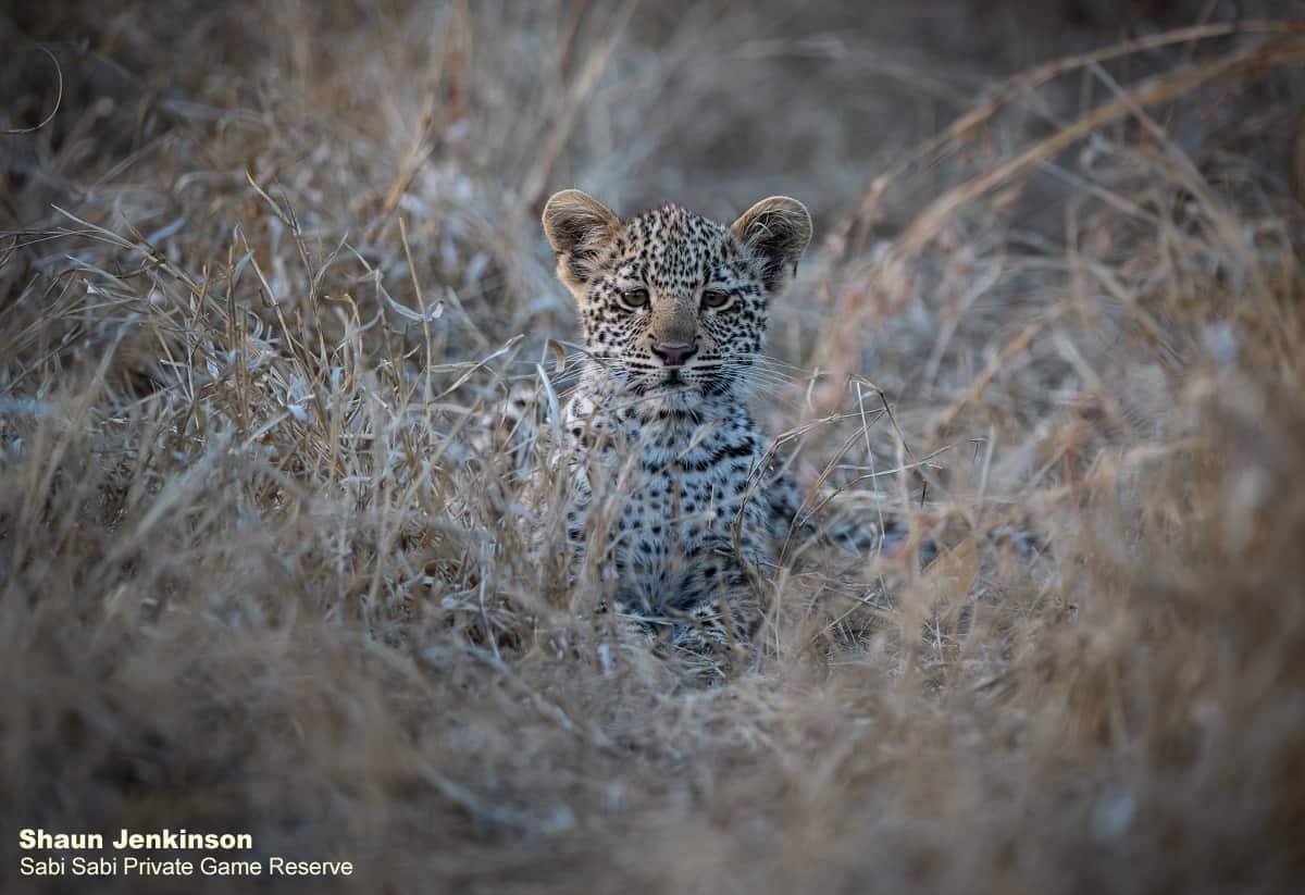 leopard cub at Sabi Sabi