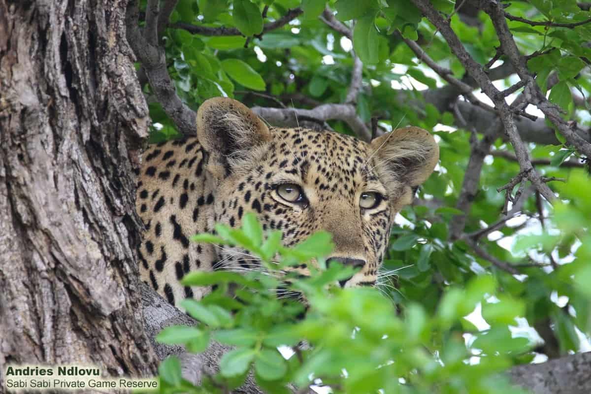 leopard while on sabi sabi safari