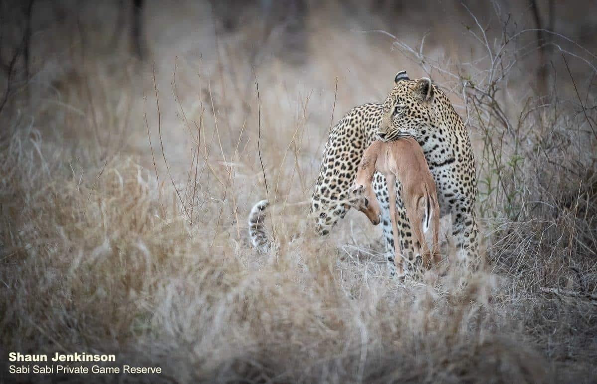 leopard kill at sabi sabi