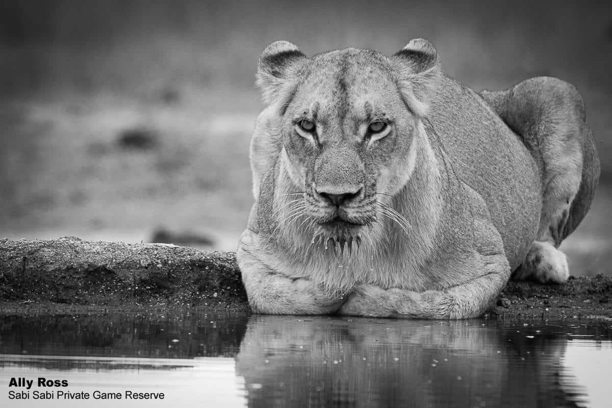 lion at waterhole Sabi sabi Private Game Reserve