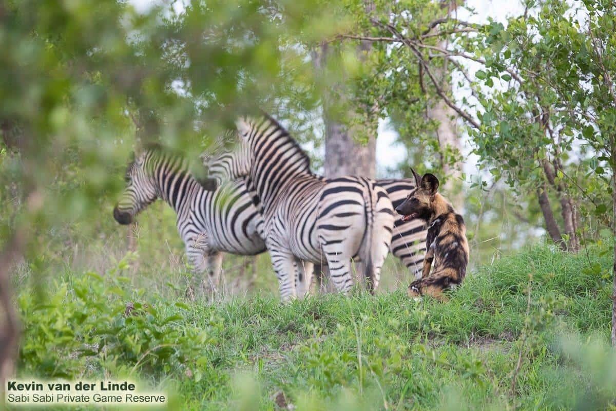 sabi sabi private game reserve 2 zebras