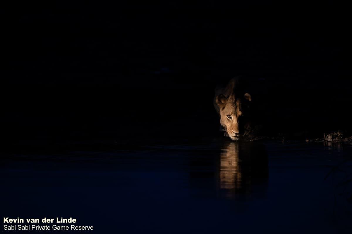 sabi sabi photographic in safari kevin van der Linde Lion Female