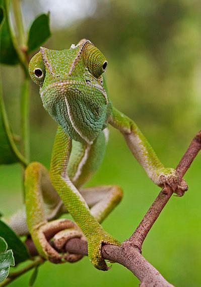 06March12-Flap-neck-Chameleon---Wim-Vorster