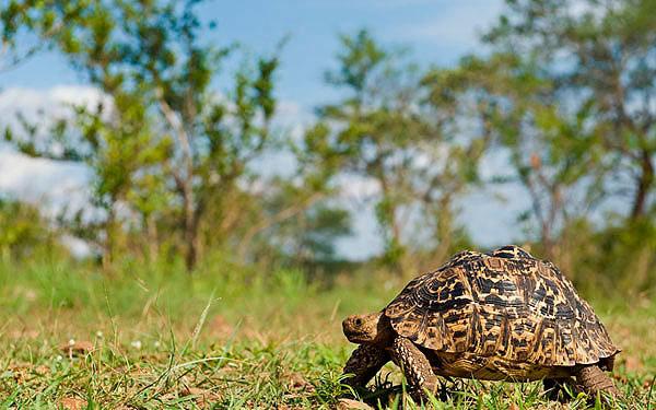 06March12-Leopard-Tortoise---Wim-Vorster