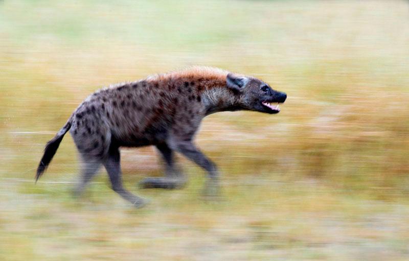 06March12---Spotted-Hyena-running---Darred-Joubert