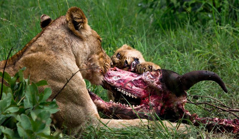 08Jan13---Lion-Kill