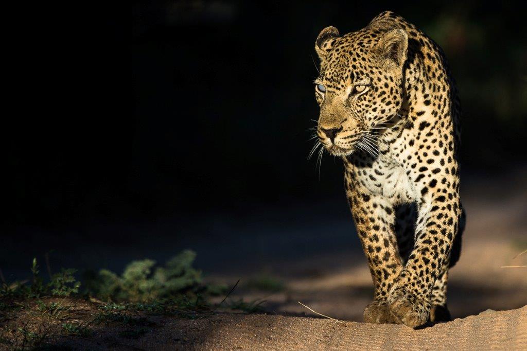 08Oct2013 - leopard