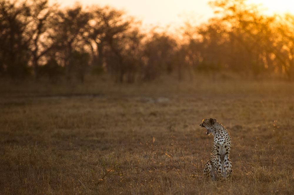 09Sept14---Cheetah-rich