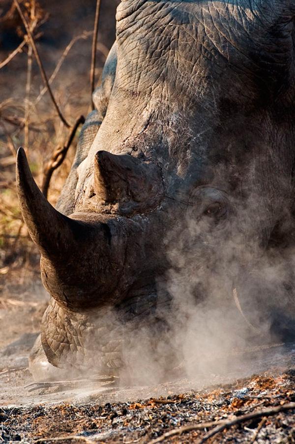 10Jan12---Rhino-in-ash---Wim-Vorster