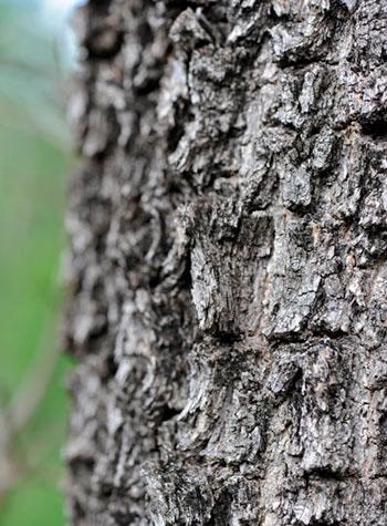 13Dec11---Tamboti-bark---Wim-Vorster