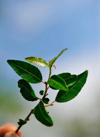 13Dec11---Tamboti-leaves---Wim-Vorster