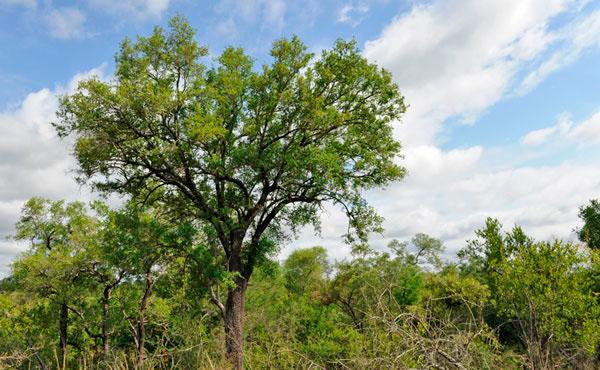 13Dec11---Tamboti-tree----Wim-Vorster