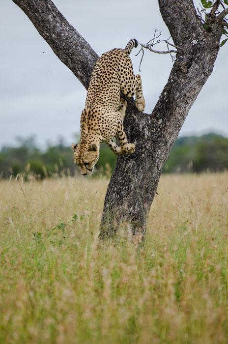 19March13---Cheetah