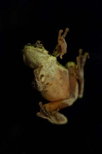 20March12-Foam-Nest-Frog---Wim-Vorster