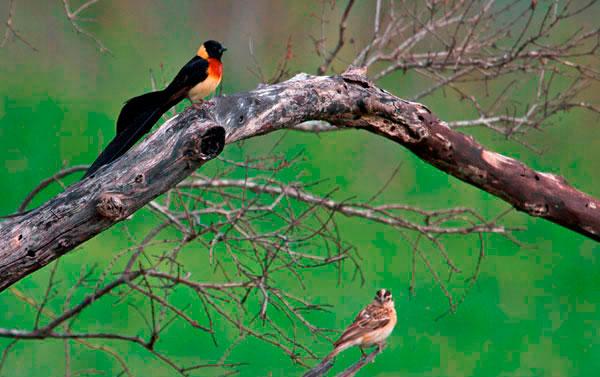 215-TW-Long-tailed-Paradise-whydah---Jaap-van-Dijk1-369
