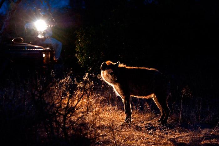 21Feb12---Back-lit-Spotted-Hyena-Wim-Vorster