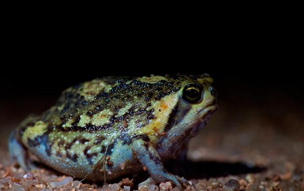 21Feb12-Bushveld-Rain-Frog---Wim-Vorster